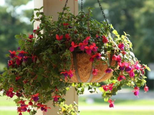 Тенелюбивые цветы для кашпо. Ампельные цветы для размещения в кашпо и их названия
