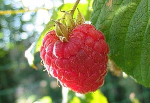 Сорта ремонтантной малины. Выращивание малины ремонтантной – особенности растения и уход