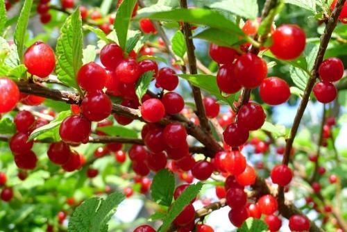Чем отличается войлочная вишня от обыкновенной. Войлочная вишня: лучшие сорта для приусадебного участка