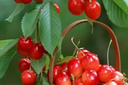 Самые урожайные сорта черешни для средней полосы. Лучшие самоплодные и низкорослые сорта черешни для выращивания в средней полосе России, посадка и уход
