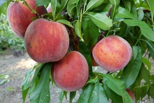 Персик дециус описание сорта. Самые лучшие сорта персиков с фото и описанием
