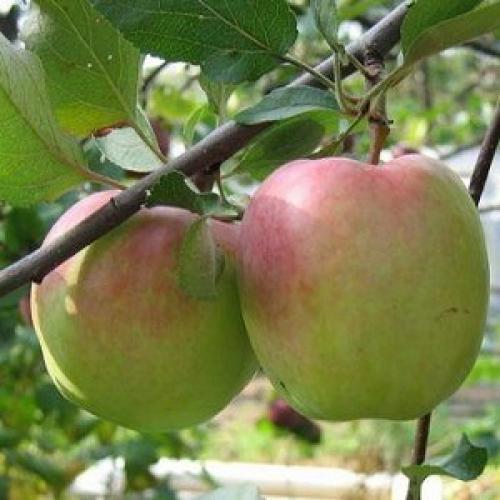 Яблоки зимние сорта. Популярные зимние сорта яблонь