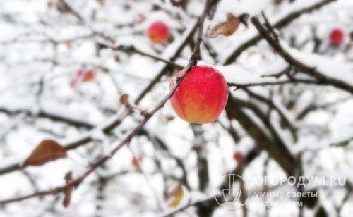 Яблони зимние сорта для средней полосы. Выбор саженцев для приусадебного участка
