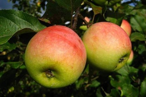 Сорта осенних яблок. Осенние сорта яблонь