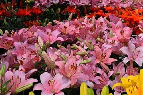 Какие цветы сочетаются друг с другом на клумбе. Клумбы из многолетних цветов фото и готовые схемы
